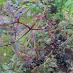 Hanggarten Bornhöved Sambucus `Black Beauty´ - Schwarzer Holunder 60 / 80 cm