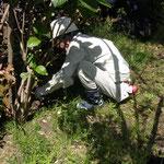 生垣の根元の草取り