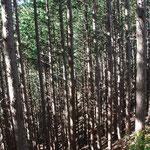 ③木材価格の低迷から、間伐や枝打ちがされない人工林