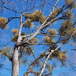 ④ミズナラの大木に鳥の巣のようなヤドリギの株、野鳥に食べられた粘着質の種が発芽して寄生(東京都奥多摩町)