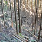 ⑤間伐された直後の人工林、間伐材の有効活用が望まれる(日の出山)