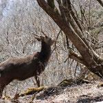 ⑤樹皮を食べるシカ、林の下のササ類、草本類は食べ尽くされて見通しが良い、生態系に影響を及ぼすことに(神奈川県伊勢原市)