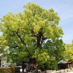 ⑤大宰府天満宮のクスノキ、幹周り11.7m、樹高28.5m、境内は52本のクスノキに包まれています