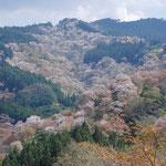 ①一目千本の吉野桜、上千本、中千本のシロヤマザクラが尾根や谷を埋め尽くし実に壮観