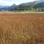 ②会津地方の山間部のソバ畑、触ると落ちそうな実を収穫