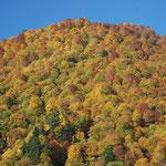 ⑥桧枝岐のブナ林、戦後の「ブナ退治」で全国的に激減したブナ林、福島県は65%が自然林として残されています(福島県桧枝岐村)