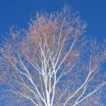 ③シラカバの樹形、陽の当たるところにいち早く芽をだし、ぐんぐん成長するが寿命は短い(長野県富士見町)