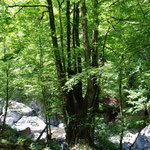 ②ガニ沢のカツラ、幹周り7m、樹高35m、日原川とガニ沢の出会いに生育