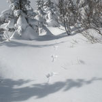 ①1分前に走り去った(奥の方へ)ウサギの足跡