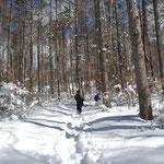 ⑤カラマツの植林地、陽射しが新雪に反射して、まぶしいカラマツ林を歩く(長野県富士見町)
