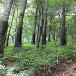 ④シカの食害、モミの大木に食害防止のネットが巻かれています