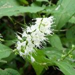 ②シソ科の多年草シモバシラの白い花、夏の終わり頃に、日陰の湿った斜面に咲いているが、見過ごしてしまうことが多い。(高尾山)