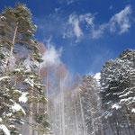 ①雪煙りの森、昨夜、梢に降り積もった新雪が、風にあおられて一瞬吹雪のように(長野県富士見町)