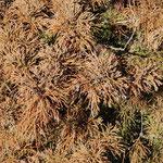 ③風媒花のスギ花粉、大量の花粉を生産・散布するので、風に乗り遠く太平洋上でもスギ花粉が観測されるほど(東京都青梅市)