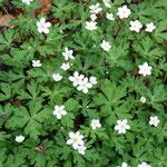 ⑤ニリンソウの群落、他にイチリンソウ、サンリンソウもあるが、必ずしも花の数は一致しない