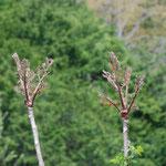 ⑤タラの芽、繰り返し新芽が採取されるので、枯れることも(山梨県小菅村)