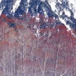 ④ケショウヤナギの樹林、上高地の梓川流域と北海道の日高・十勝地方に隔離分布、冬期に小枝が化粧したように紅色に(長野県松本市)