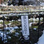 ⑥大滝神社のワサビ畑、年間を通して水温12度、生活用水、農業用水として地域に必要不可欠な湧水(山梨県北杜市)