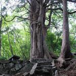 ①倉沢のヒノキ、幹周り6.3m、樹高34m、日原川支流の倉沢谷の尾根