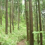 ④手入れされた人工林、下草が生育して土壌の浸食を防止(高尾山)