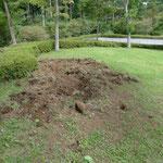 イノシシの掘った痕。日々埋めなおす作業に追われます。