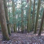 3 スギ林、奥へ入るとモミとの混交林になった