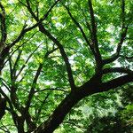 ③水垂のトチノキ、幹周り4.8m、樹高30m、日原集落の外れの車道沿い