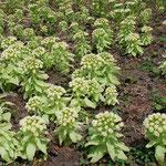 ④フキノトウ、中高年になると、なぜか食べたくなる山菜に(福島県只見町)