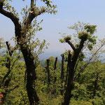 高尾山頂付近の景観伐採、年間250万人以上が訪れる山頂の展望を確保するために、東京方面の樹木の上部をトリミングしています。