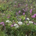 ⑥伊吹山の植物群落、イブキジャコウソウなど伊吹の名前がついた植物が沢山ありますが、近年、群落全体が衰退しているようです。