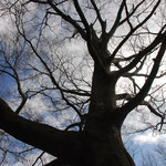 ⑤都民の森のシロブナの大径木、散策路を歩きながら、三頭山の豊かな自然を学ぶ(東京都桧原村)