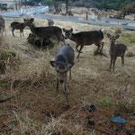 宮崎県えびの高原の野生シカの群れ