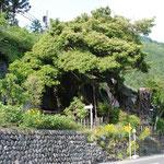 ④古里附のイヌグス、別名タブノキ、幹周り8m、樹高15m、青梅線古里駅の近く