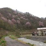 ②奥会津の山里、小さい沢に笹にごりの雪しろ水が勢いよく流れ、裏山にヤマザクラが開花すると春を実感することに