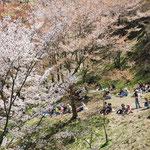 ③花に遊ぶ人々、名物の柿の葉寿司の弁当を食べながら、満開の山桜の下で花見を楽しむ