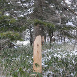 鹿が木をかじった痕