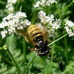 Wespen Moderholzschwebfliege