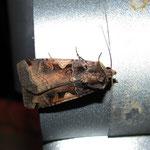 Schwarze C Eule (Rhyacia c-nigrum)  15.07.11
