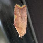 Caecina quercana