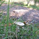 Weisser Knollenblätterpilz (giftig)