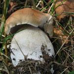 Junger Steinpilz (essbar)