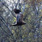 Rohrweihe im Tävsmoor