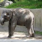 junger indischer Elefant