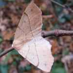 Federfühler-Herbstspanner