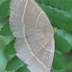 Gelblinien-Spannereule ( Trisateles emortualis )