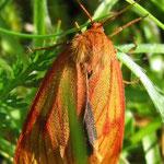 Rotrandbär  (Weibchen)