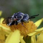 Filzbiene  Epeolus variegatus