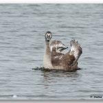 Junger Höckerschwan