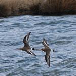 Uferschnepfen im Flug