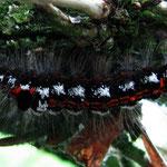 Schwan (Euproctis similis)